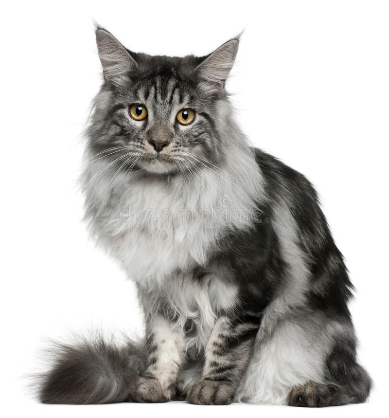 gammal sitting för 7 kattcoonmaine månader arkivfoton
