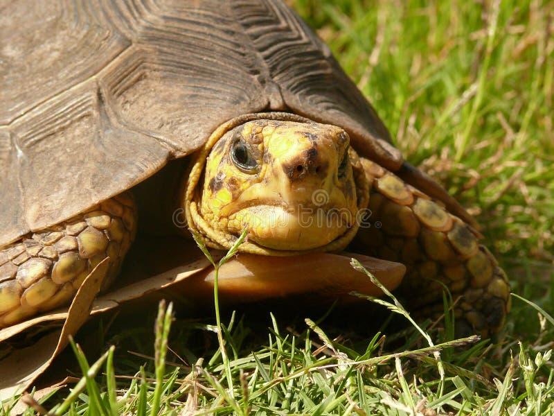 gammal sköldpadda arkivfoto