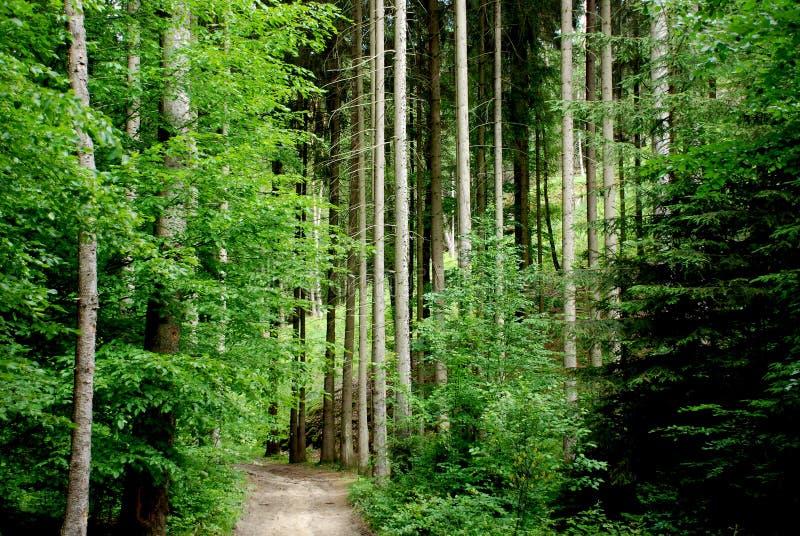 gammal skog arkivfoton