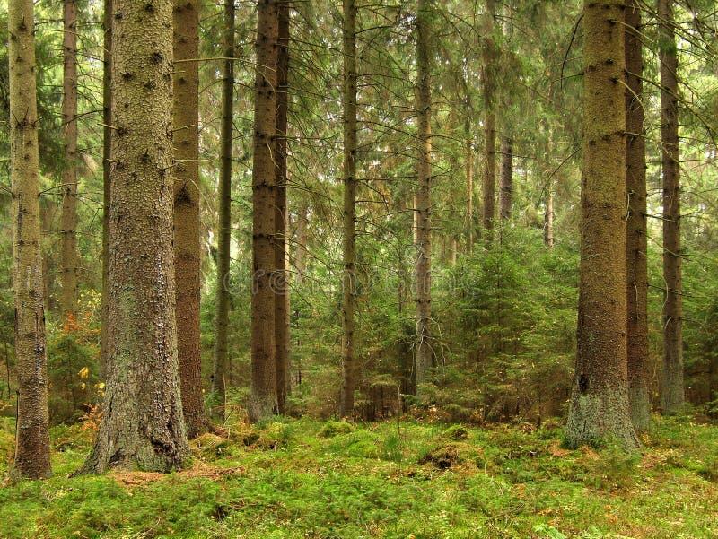 gammal skog arkivfoto