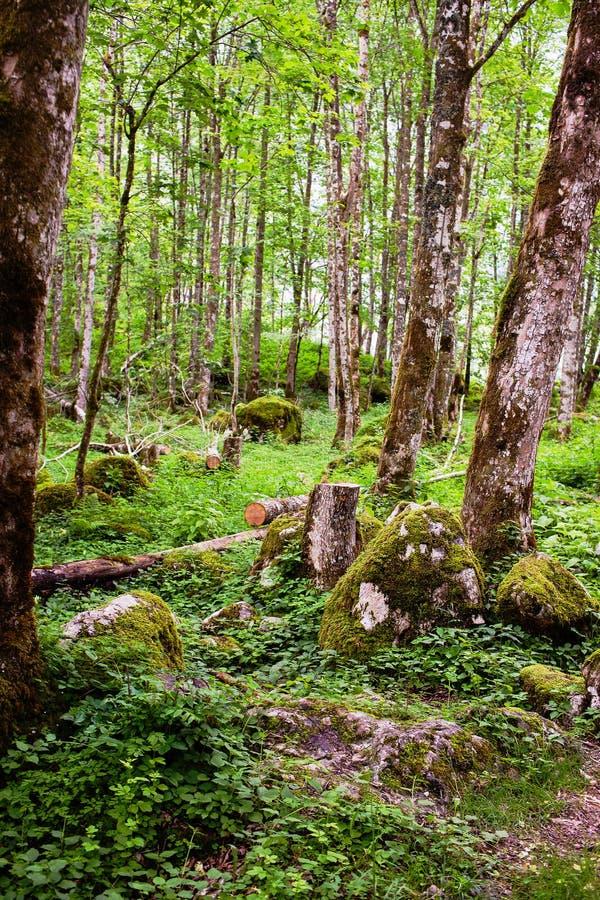 Gammal skog med mossiga träd royaltyfria foton