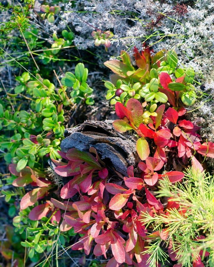 Gammal småträdstump övervuxen med röda blad tranbär i skogen royaltyfri foto