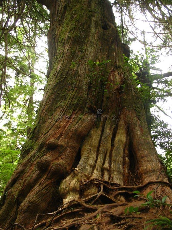 Download Gammal spiral tree arkivfoto. Bild av gammalt, historia - 986794
