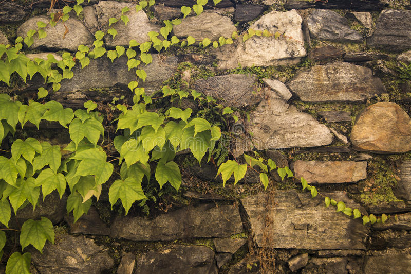 Gammal stenvägg med giftmurgrönan royaltyfri foto