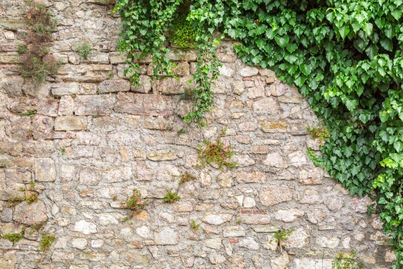 Gammal stenvägg med murgrönan royaltyfri foto