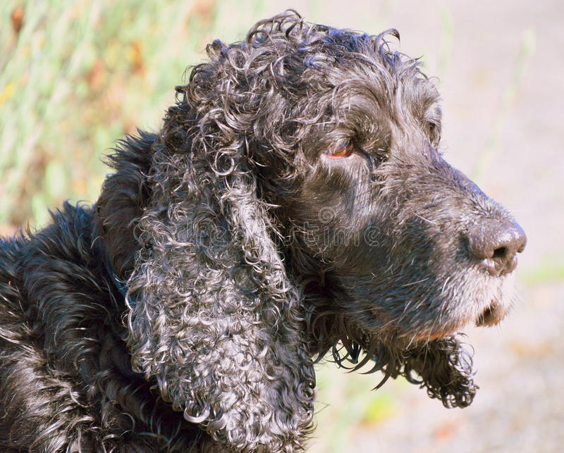 Gammal svart för hund royaltyfri fotografi