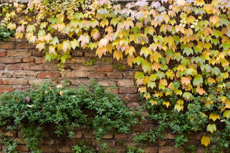 Gammal tegelstenvägg som täckas med den gula murgrönan och gröna växter royaltyfria bilder