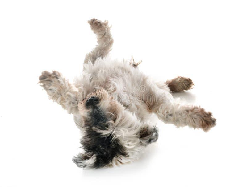 Gammal tibetan terrier royaltyfria bilder