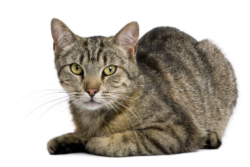 gammal tiger för 13 månader för katt europeiska arkivbild