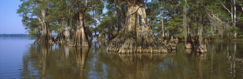 Gammal-tillväxt cypresses på det LakeFausse Pointe tillståndet royaltyfria bilder