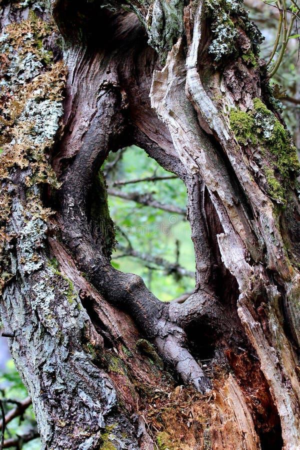 Gammal trädstam med a till och med hålet royaltyfri foto
