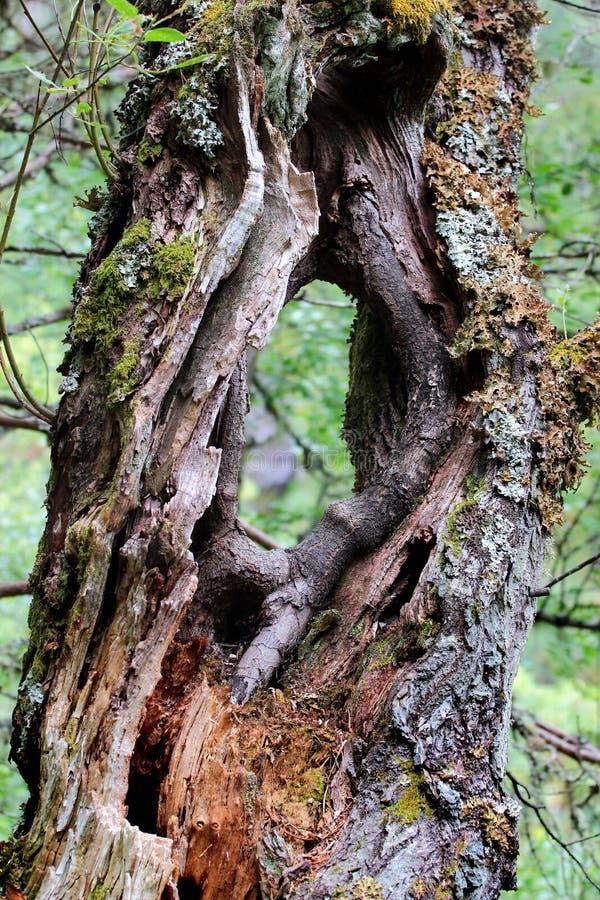 Gammal trädstam med a till och med hålet arkivfoto