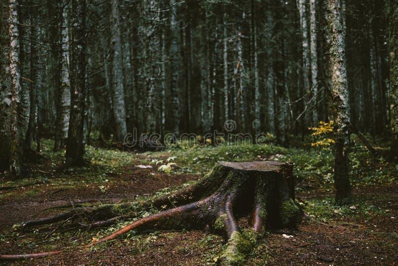 Gammal trädstubbe i begreppet för höstskogensamhet arkivfoto