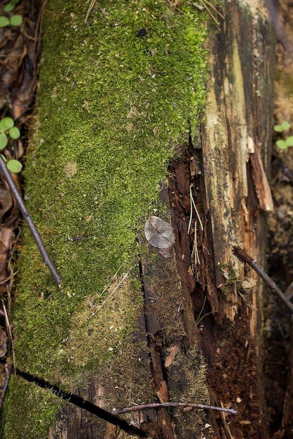 Gammal trädstubbe med grön mossa i naturlig bakgrund för vårskog royaltyfri fotografi