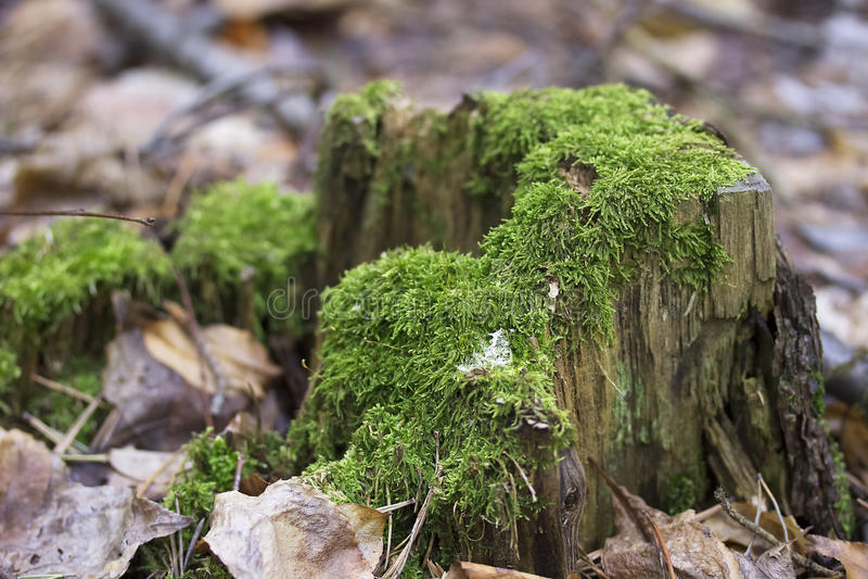Gammal trädstubbe med grön mossa i naturlig bakgrund för vårskog royaltyfri foto