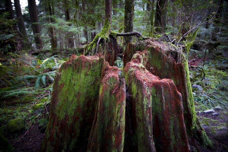 Gammal trädstubbe som täckas med mossa royaltyfria bilder