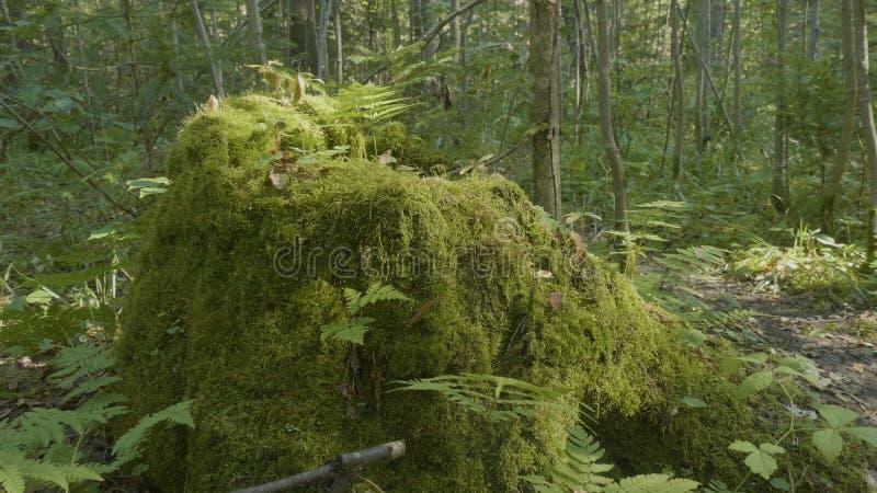 Gammal trädstubbe som täckas med mossa i barrskogen, härligt landskap Stubbe med mossa i skogen royaltyfri bild