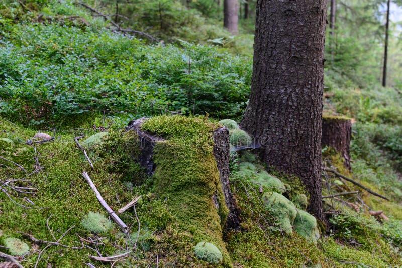 Gammal trädstubbe som täckas med mossa i skogen royaltyfria bilder