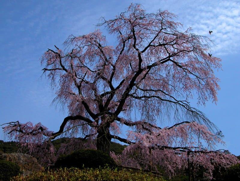 gammal tree för Cherry arkivbilder
