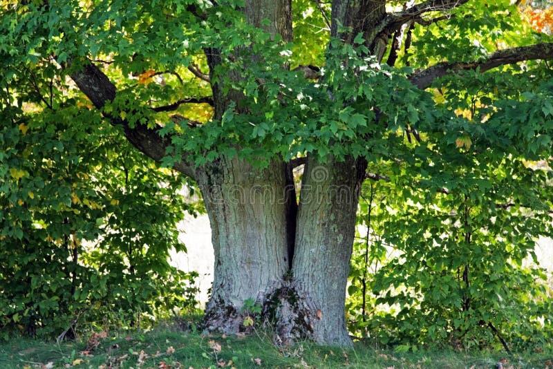 gammal tree för lönn royaltyfri fotografi
