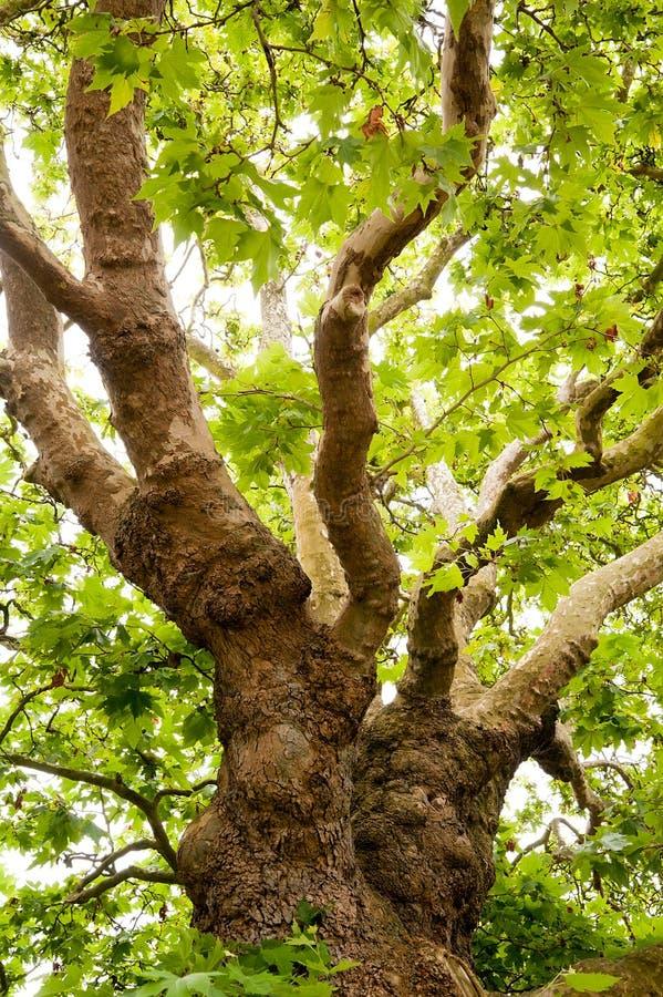 gammal tree för oak royaltyfri foto
