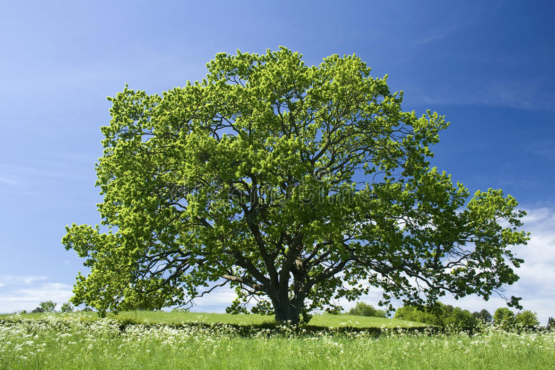 gammal tree för oak royaltyfri fotografi