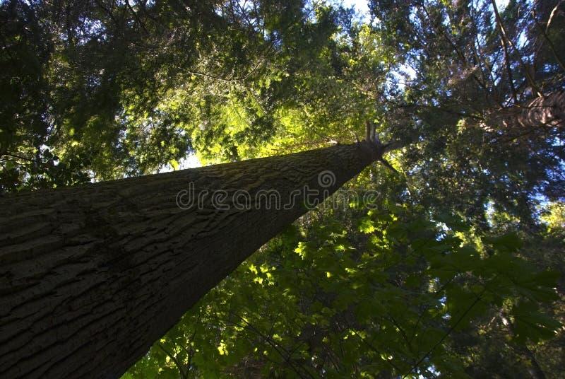 gammal tree för tillväxt royaltyfria foton