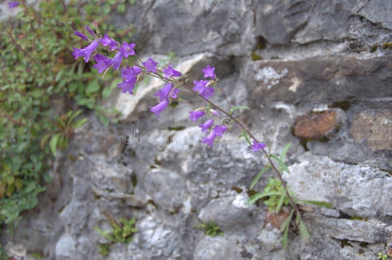 Gammal vägg för violett blomma royaltyfri foto