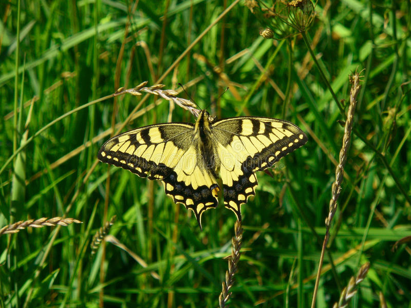 Gammal värld Swallowtail, Papilio machaonfjäril arkivfoton