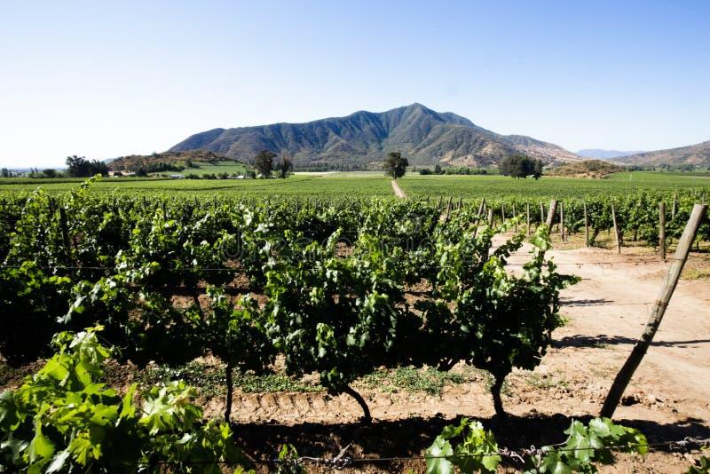 Gammal vinodling i Carmenere i Chile arkivfoto