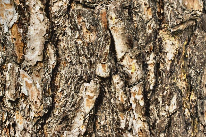 Gammal wood skälltextur eller bakgrund den bakgrundsbaikal laken sörjer treen arkivbilder