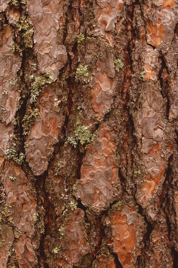 Gammal wood skälltextur eller bakgrund Rött sörja trädet royaltyfri foto