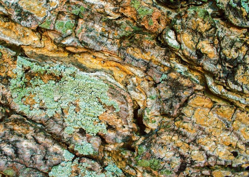 Gammal wood skälltextur med den gröna laven och sprickor Brädeyttersida för rått trä lantligt royaltyfria foton