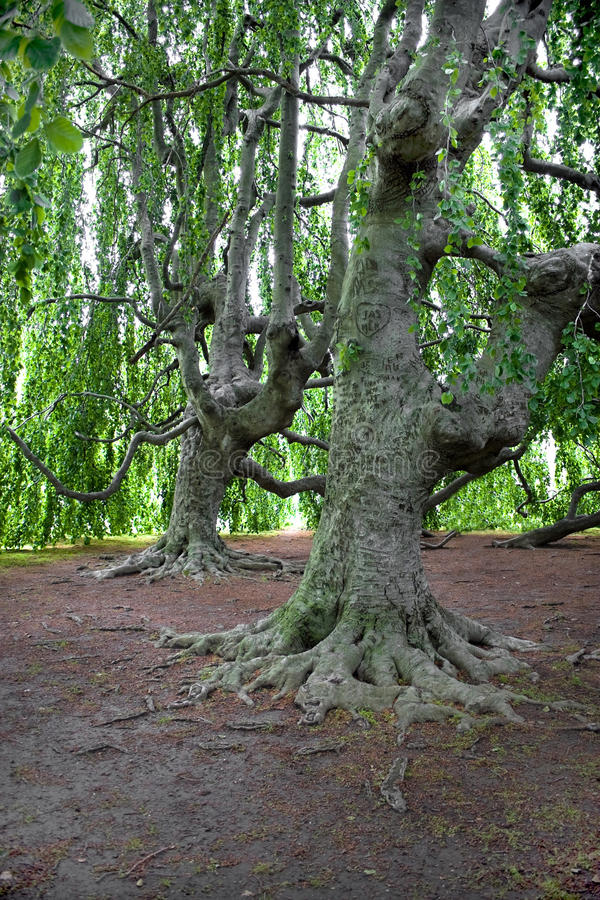 gammala trees mycket arkivbild