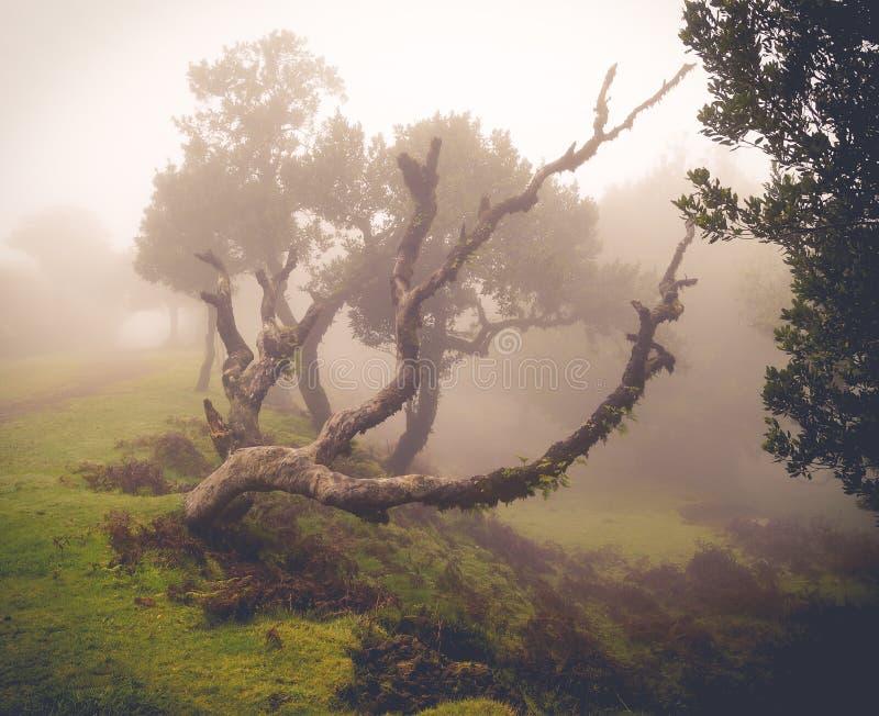 Gammalt böjande lagerträd i misten royaltyfria bilder