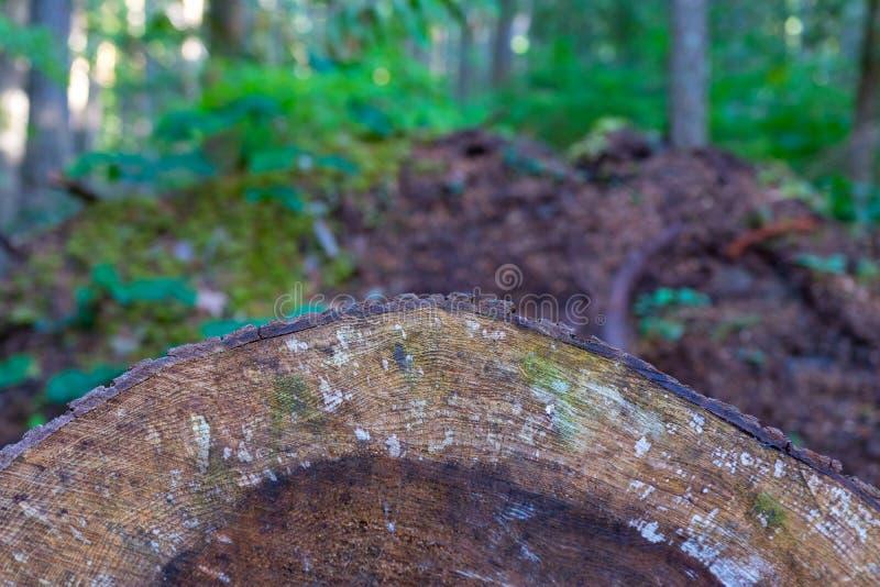 Gammalt bekymrat tvärsnitt för trädcirkel royaltyfria bilder