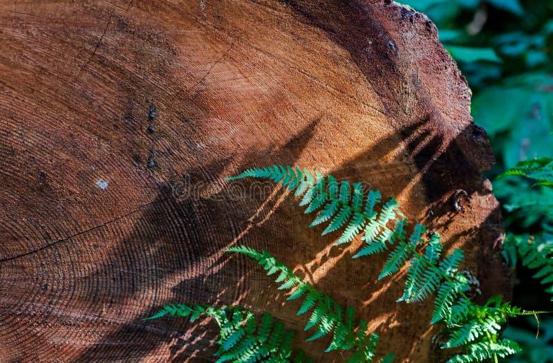 Gammalt bekymrat tvärsnitt för trädcirkel arkivbild