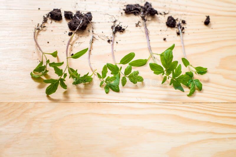 Gammalt bevattna kan med plantor av blommor och gr?nsaker p? retro tr?bakgrund Hem- tr?dg?rd f?r tappning och planteraobjekt, royaltyfri foto