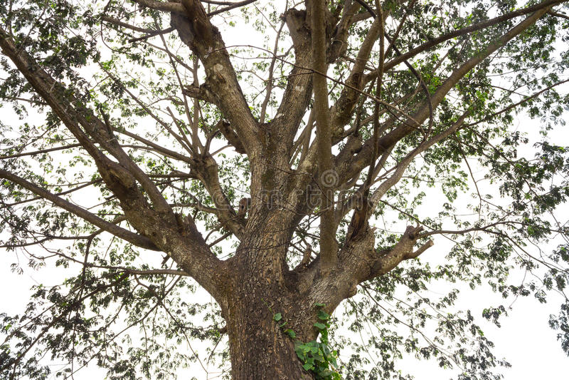 Gammalt eller klassiskt regnträd med det lilla bladet royaltyfria bilder