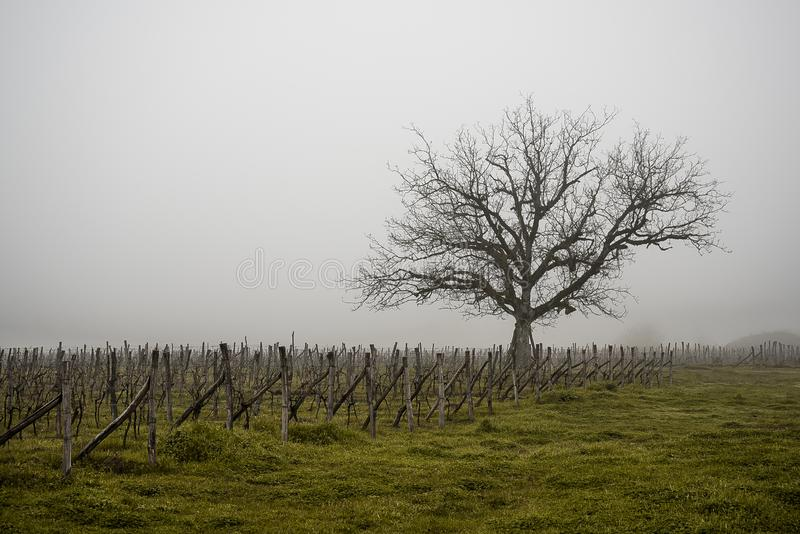 Gammalt ensamt träd i vingården i dimman I Georgia royaltyfri fotografi