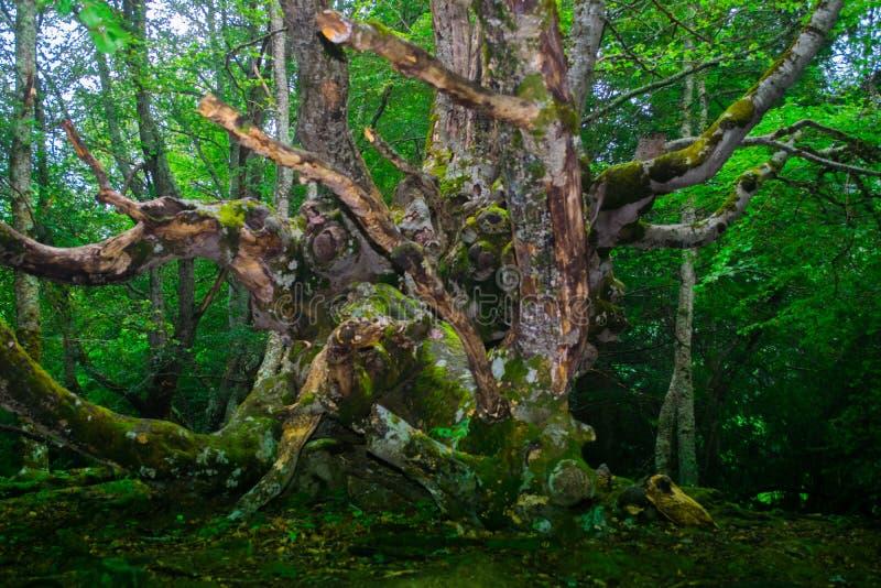 Gammalt grönt träd i skogen royaltyfria foton