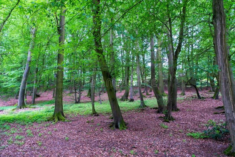 Gammalt h?gt tr?d Landskap av mörk skogspridning över äng Att gå i natur parkerar Oskyldig natur Höga träd för skog arkivbild