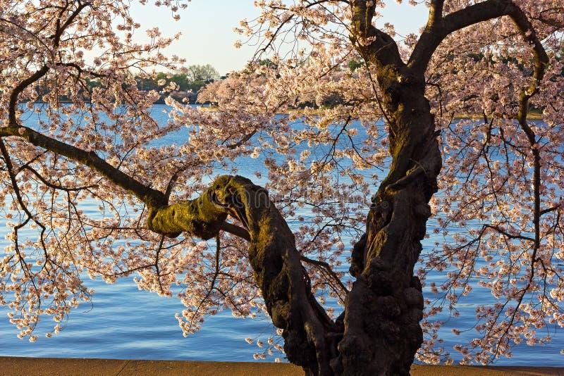 Gammalt körsbärsrött träd på maximumet av dess blom arkivbilder