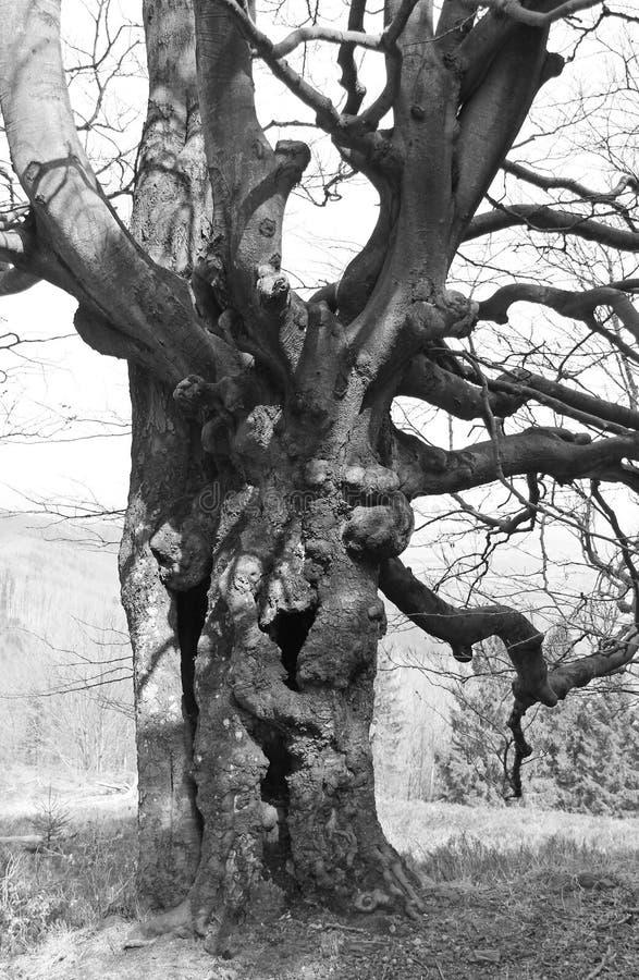 Gammalt kusligt träd fotografering för bildbyråer