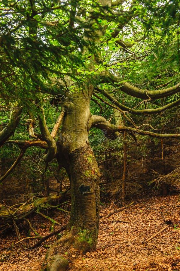 Gammalt kusligt träd arkivfoton