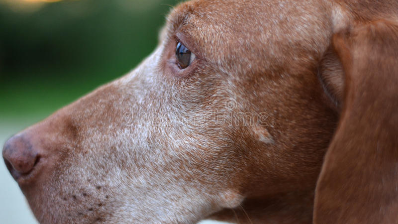 Gammalt ledset hundöga royaltyfri foto