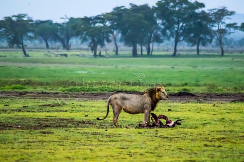 Gammalt lejon framme av ett kadaver av gnu i savannahen av arkivbild