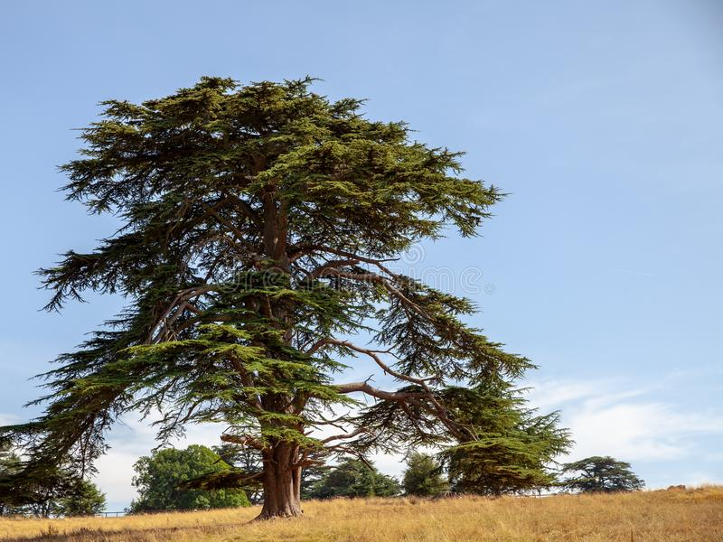 Gammalt Libanon cederträträd på blå himmel arkivfoton