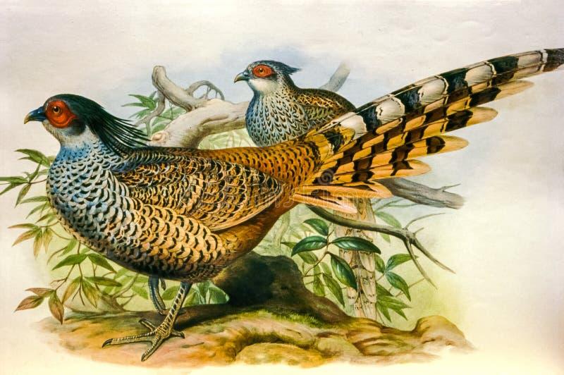 Gammalt litografitryck av den indiska fågeln royaltyfri fotografi