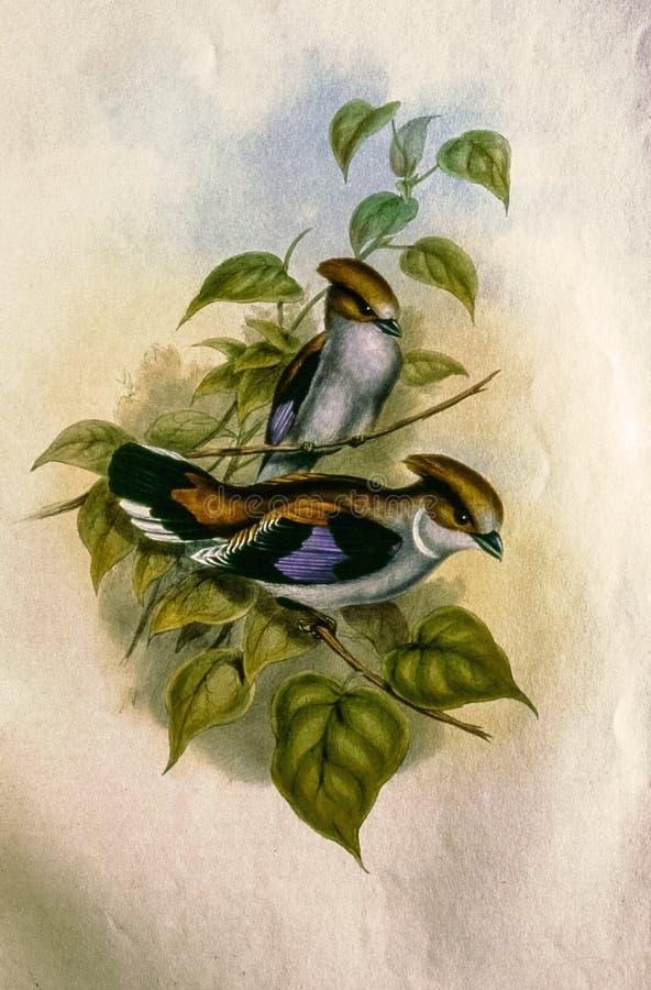 Gammalt litografitryck av den indiska fågeln royaltyfri bild